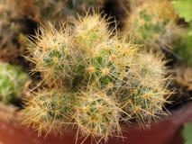 Plante d'intérieur de cactus Photos libres de droits