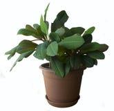 Plante d'intérieur de leuconeura d'euphorbe photos libres de droits
