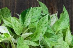 Plante d'intérieur feuillue verte (pothos) par l'arbre Image libre de droits