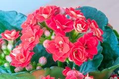 Plante d'intérieur herbacée et généralement cultivée de blossfeldiana rouge de Kalanchoe du genre indigène de Kalanchoe au  photographie stock