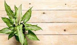 Plante d'intérieur sur la table Photographie stock libre de droits
