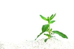 Plante dans la saleté blanche Image libre de droits
