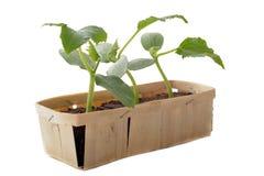 Plante de concombre Photos libres de droits