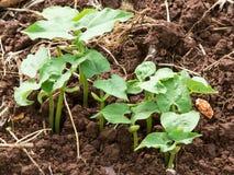 Plante de haricot Image libre de droits