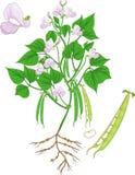 Plante de haricot fleurissante avec le système et les cosses de racine illustration stock