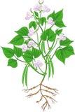 Plante de haricot fleurissante avec le système et les cosses de racine illustration libre de droits
