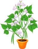 Plante de haricot fleurissante dans le pot de fleur avec des feuilles et des cosses de vert illustration stock