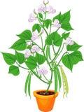 Plante de haricot fleurissante dans le pot de fleur avec des feuilles et des cosses de vert d'isolement illustration libre de droits