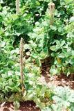 Plante de haricot verte Photographie stock libre de droits