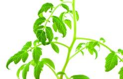 Plante de la tomate Image libre de droits
