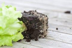 Plante de laitue avec la terre Images stock