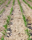 Plante de maïs Photographie stock libre de droits