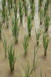 Plante de paddy d'inondation de l'eau de gisement de riz photos libres de droits