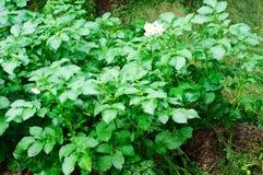 Plante de pomme de terre Photos stock