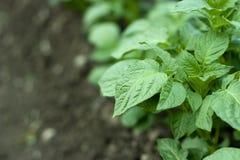 Plante de pomme de terre Image libre de droits