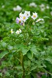 Plante de pomme de terre fleurissante Photo libre de droits
