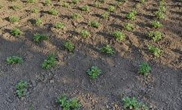 Plante de pomme de terre verte fraîche Images libres de droits