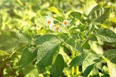 Plante de pomme de terre de floraison dans le domaine Photo libre de droits
