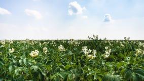plante de pomme de terre de floraison sur le champ dans les Frances Photos stock