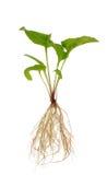 Plante de purpurea d'Echinacea au-dessus de blanc Photos libres de droits
