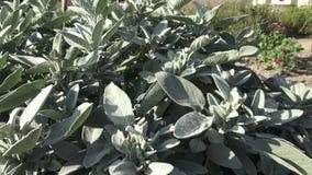 Plante de sauge commune, herbe aromatique et épice Officinalis de Salvia dans le jardin Épices et herbes Purpurescens d'officinal banque de vidéos