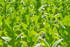 Plante de tabac photo libre de droits