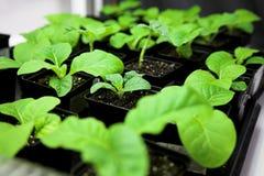 Plante de tabac images libres de droits