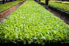Plante de tabac Image libre de droits