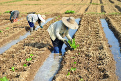 Plante de tabac dans la ferme de la Thaïlande Image stock