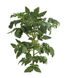 Plante de tomate photo stock