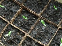 Plante de tomate Photo libre de droits