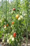 Plante de tomate Image stock