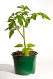 Plante de tomate Photos stock