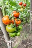 Plante de tomate images libres de droits