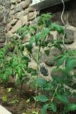 Plante de tomate images stock