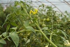 Plante de tomate avec des fleurs Photos stock