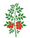 Plante de tomate Tomate d'isolement sur le fond blanc Photos stock