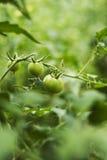 Plante de tomate dans l'arrière-cour Photographie stock libre de droits