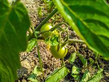 Plante de tomate dans le jardin image stock