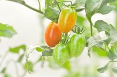 Plante de tomate dans le potager Images libres de droits