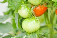 Plante de tomate dans le potager Photo stock