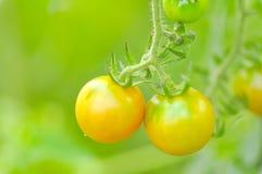 Plante de tomate dans le potager Photo libre de droits