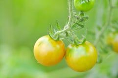 Plante de tomate dans le potager Photographie stock libre de droits