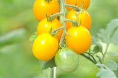 Plante de tomate dans le potager Photos stock