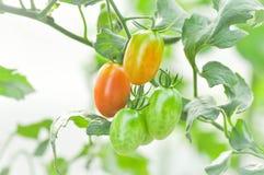 Plante de tomate fraîche dans le potager Photos libres de droits