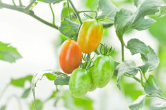 Plante de tomate fraîche dans le potager Photographie stock