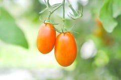 Plante de tomate ou tomate-cerise dans le potager Photographie stock libre de droits