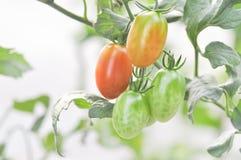 Plante de tomate ou tomate-cerise dans le potager Photos stock