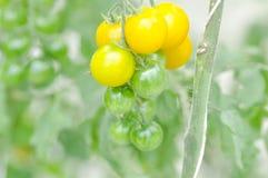 Plante de tomate ou tomate-cerise dans le potager Image stock