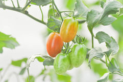 Plante de tomate ou tomate-cerise dans le potager Photo stock
